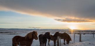 Chevaux Islandais sur les bords de route du Cercle d'Or - Islande
