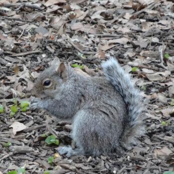 Ecureuil de Central Park - New-York