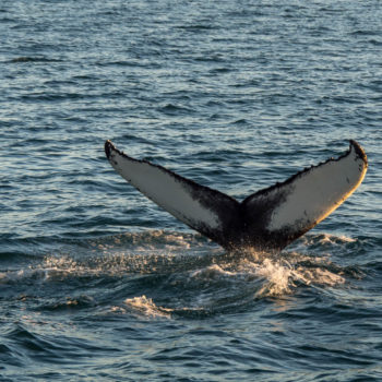 Observation des baleines (4) - Islande