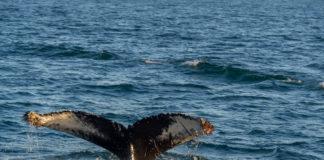Observation des baleines (2) - Islande