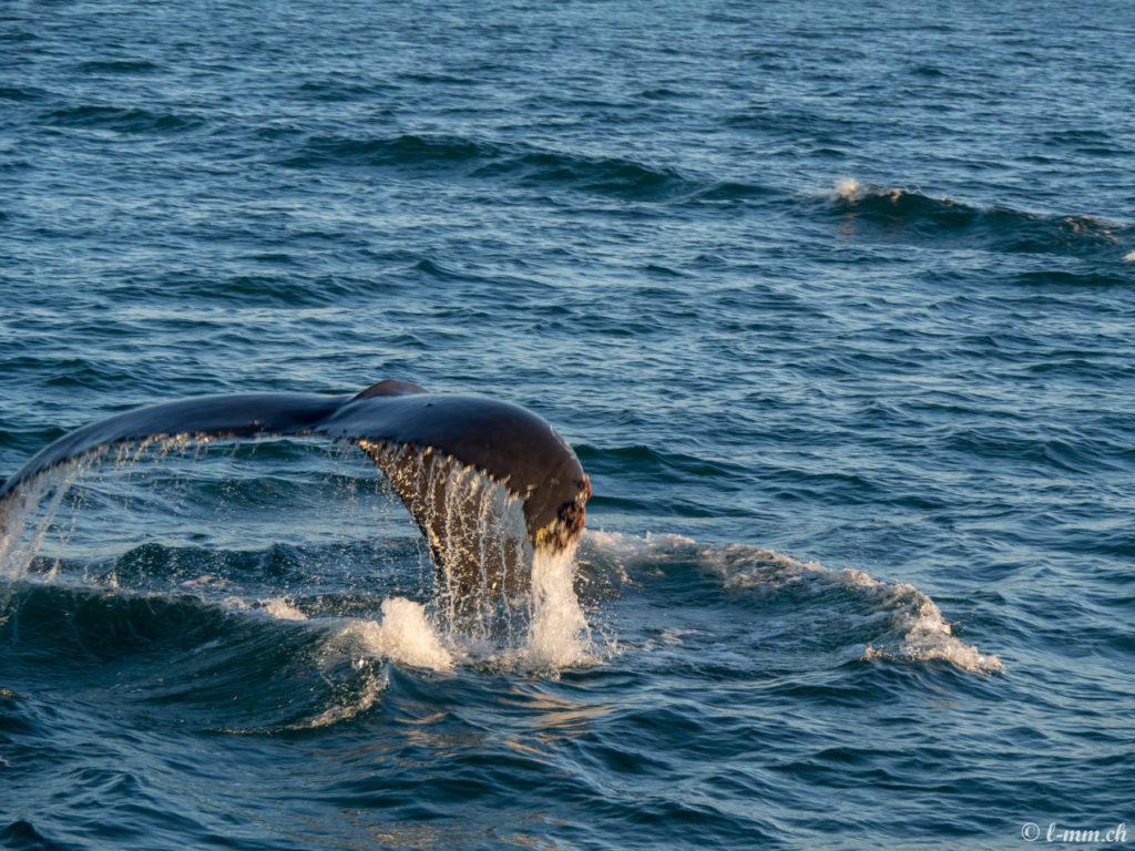 Observation des baleines - Islande